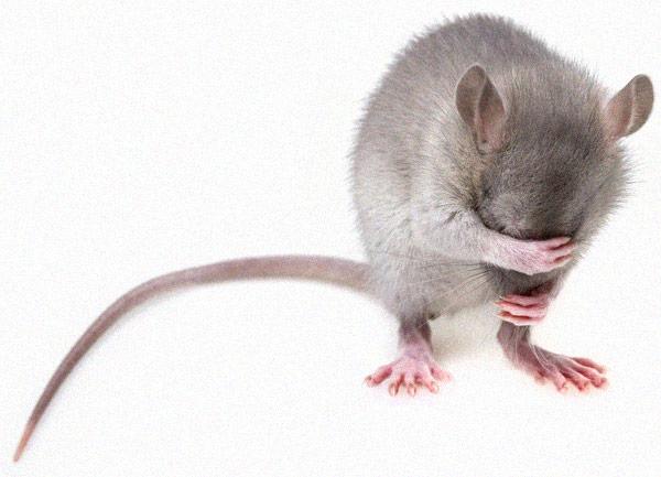 Versuchstier Ratte